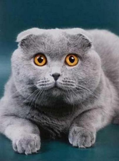 шотландские коты фото вислоухие