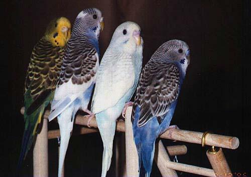 Чаще всего волнистые попугаи хорошо запоминают и произносят собственную...