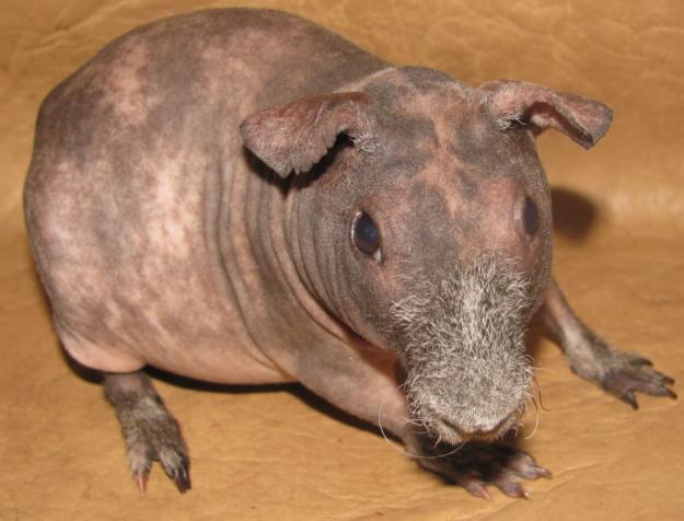 онлайн знакомство для морских свинок
